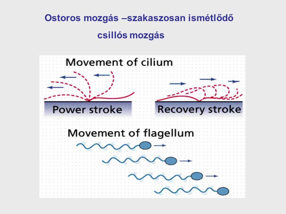 Ostoros mozgás –szakaszosan ismétlődő csillós mozgás