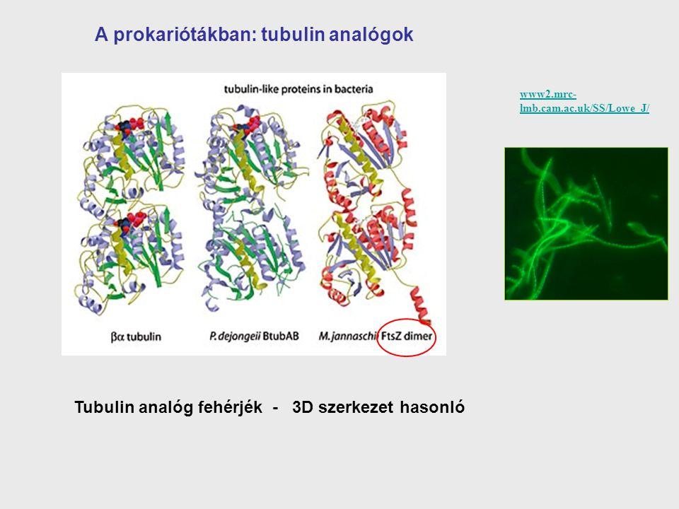 A prokariótákban: tubulin analógok www2.mrc- lmb.cam.ac.uk/SS/Lowe_J/ Tubulin analóg fehérjék - 3D szerkezet hasonló