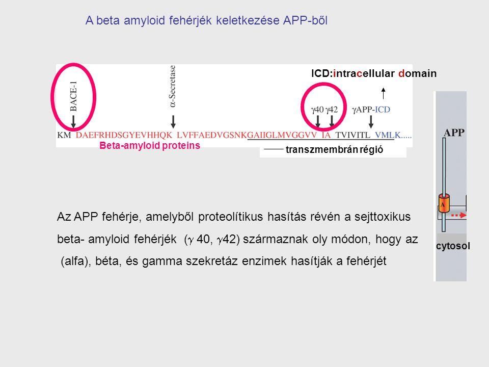 Az APP fehérje, amelyből proteolítikus hasítás révén a sejttoxikus beta- amyloid fehérjék (  40,  42) származnak oly módon, hogy az (alfa), béta, és