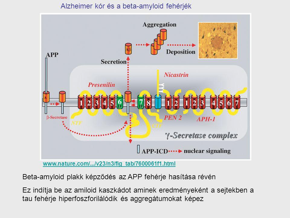 Beta-amyloid plakk képződés az APP fehérje hasítása révén Ez indítja be az amiloid kaszkádot aminek eredményeként a sejtekben a tau fehérje hiperfoszf
