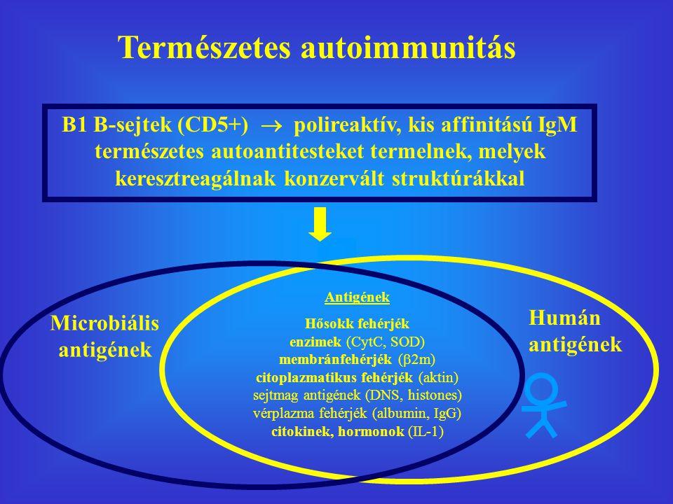 Természetes autoimmunitás B1 B-sejtek (CD5+)  polireaktív, kis affinitású IgM természetes autoantitesteket termelnek, melyek keresztreagálnak konzervált struktúrákkal Antigének Hősokk fehérjék enzimek (CytC, SOD) membránfehérjék (  2m) citoplazmatikus fehérjék (aktin) sejtmag antigének (DNS, histones) vérplazma fehérjék (albumin, IgG) citokinek, hormonok (IL-1) Microbiális antigének Humán antigének