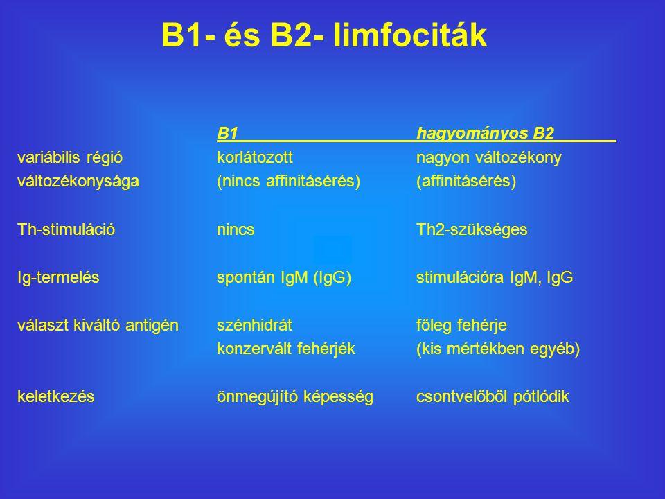 B1hagyományos B2 variábilis régió korlátozottnagyon változékony változékonysága(nincs affinitásérés)(affinitásérés) Th-stimulációnincsTh2-szükséges Ig-termelésspontán IgM (IgG)stimulációra IgM, IgG választ kiváltó antigénszénhidrátfőleg fehérje konzervált fehérjék (kis mértékben egyéb) keletkezésönmegújító képességcsontvelőből pótlódik B1- és B2- limfociták