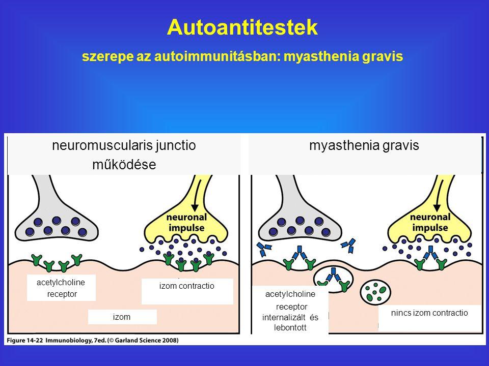 Autoantitestek szerepe az autoimmunitásban: myasthenia gravis neuromuscularis junctio működése myasthenia gravis acetylcholine receptor izom izom contractio acetylcholine receptor internalizált és lebontott nincs izom contractio