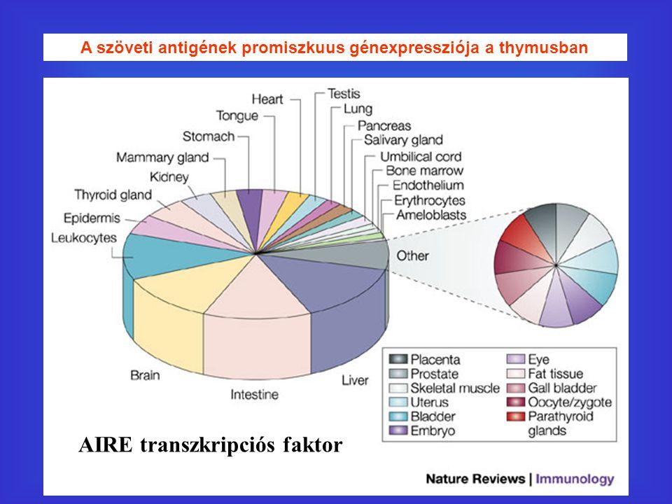 A szöveti antigének promiszkuus génexpressziója a thymusban AIRE transzkripciós faktor