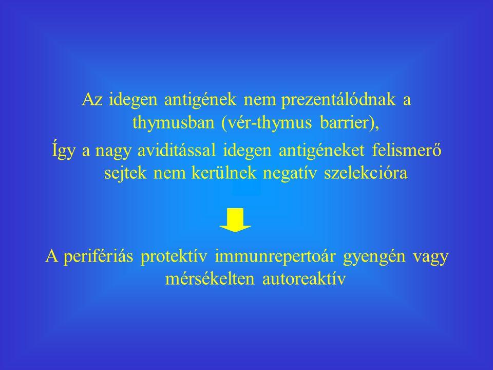 Az idegen antigének nem prezentálódnak a thymusban (vér-thymus barrier), Így a nagy aviditással idegen antigéneket felismerő sejtek nem kerülnek negatív szelekcióra A perifériás protektív immunrepertoár gyengén vagy mérsékelten autoreaktív