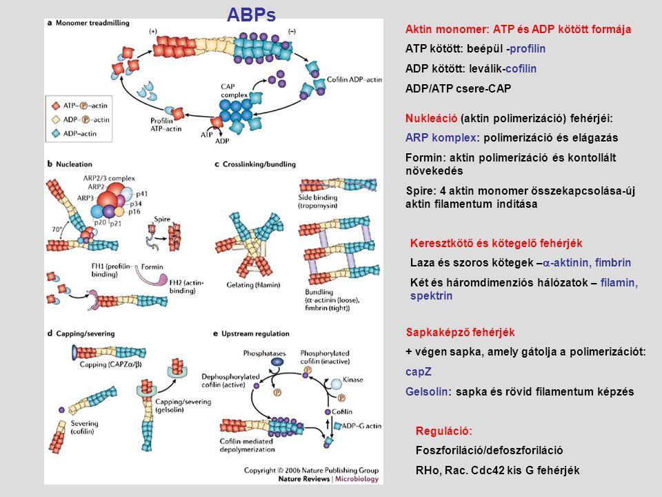 Aktin monomer: ATP és ADP kötött formája ATP kötött: beépül -profilin ADP kötött: leválik-cofilin ADP/ATP csere-CAP Nukleáció (aktin polimerizáció) fe