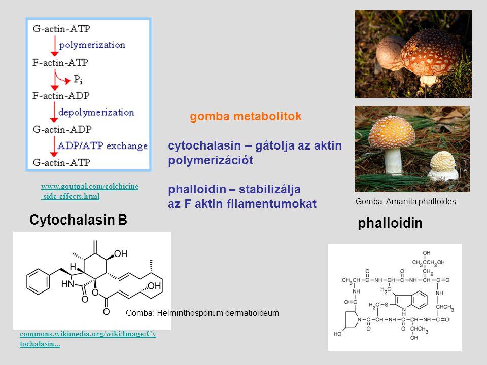 www.goutpal.com/colchicine -side-effects.html gomba metabolitok cytochalasin – gátolja az aktin polymerizációt phalloidin – stabilizálja az F aktin fi