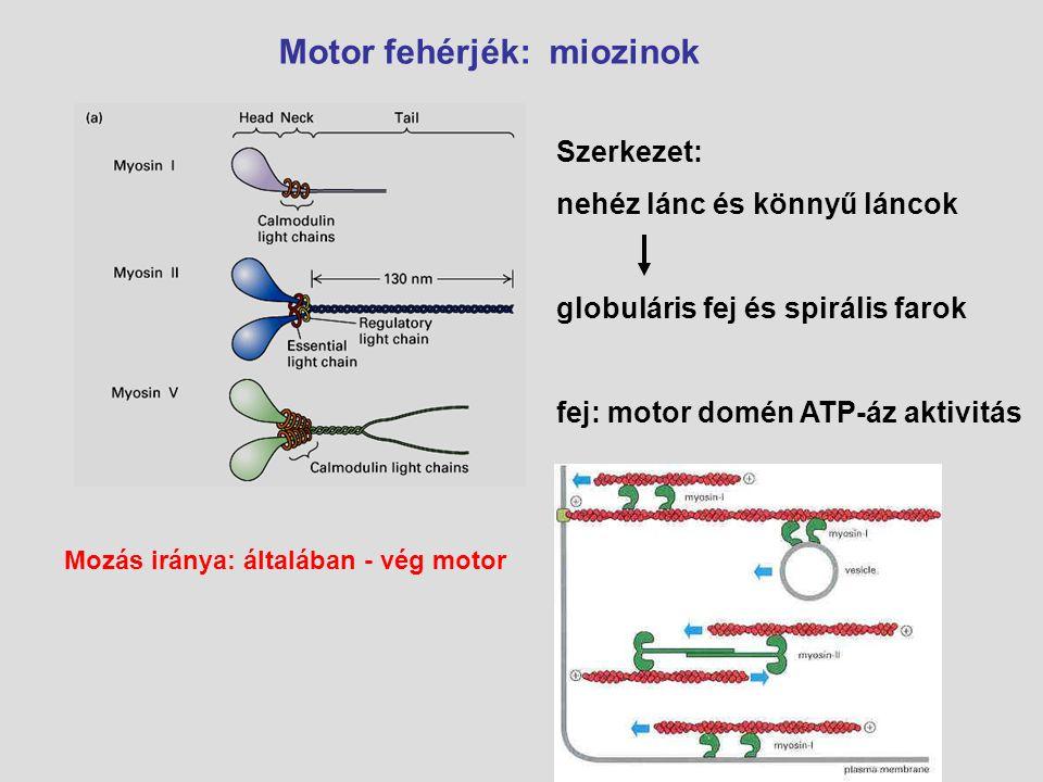 Motor fehérjék: miozinok Szerkezet: nehéz lánc és könnyű láncok globuláris fej és spirális farok fej: motor domén ATP-áz aktivitás Mozás iránya: által