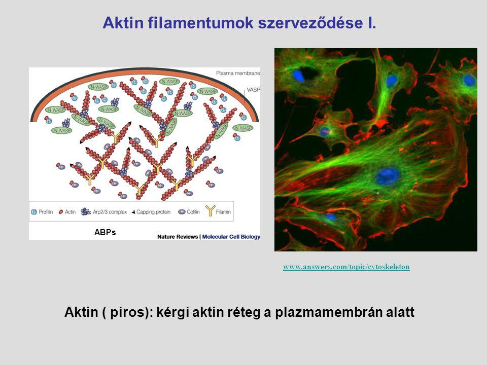 Aktin filamentumok szerveződése I. www.answers.com/topic/cytoskeleton Aktin ( piros): kérgi aktin réteg a plazmamembrán alatt ABPs