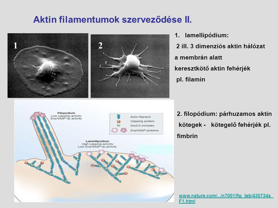 Aktin filamentumok szerveződése II. 12 1.lamellipódium: 2 ill. 3 dimenziós aktin hálózat a membrán alatt keresztkötő aktin fehérjék pl. filamin 2. fil