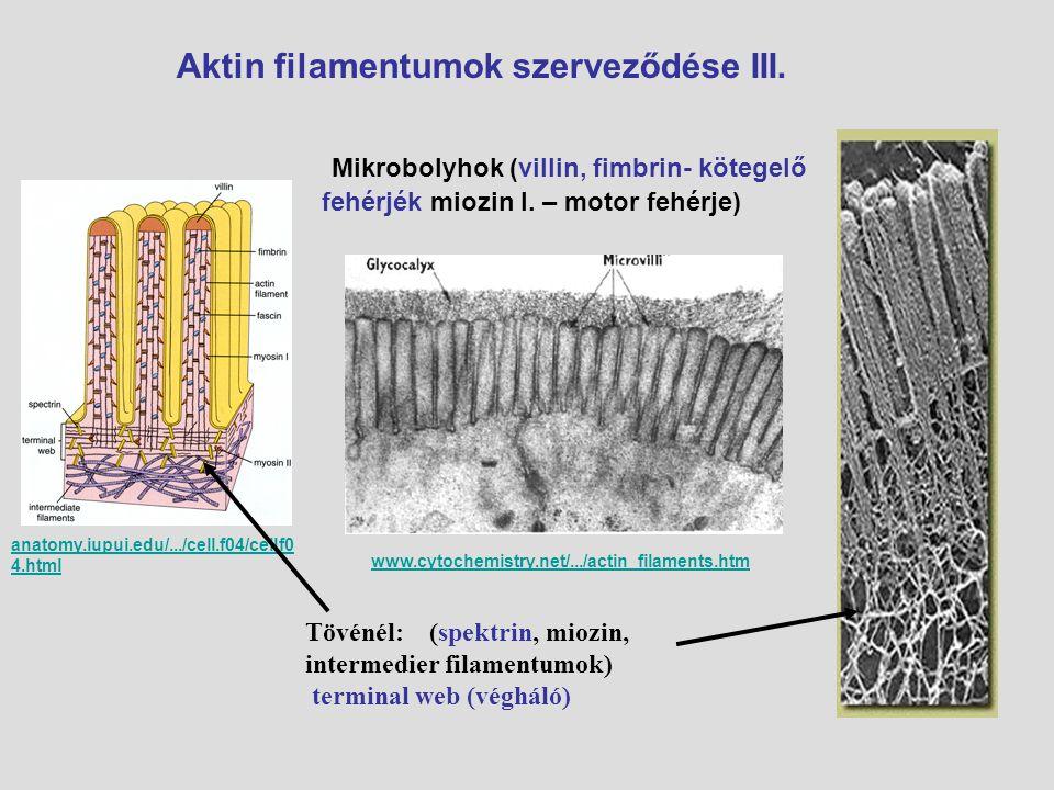 Aktin filamentumok szerveződése III. Mikrobolyhok (villin, fimbrin- kötegelő fehérjék miozin I. – motor fehérje) www.cytochemistry.net/.../actin_filam