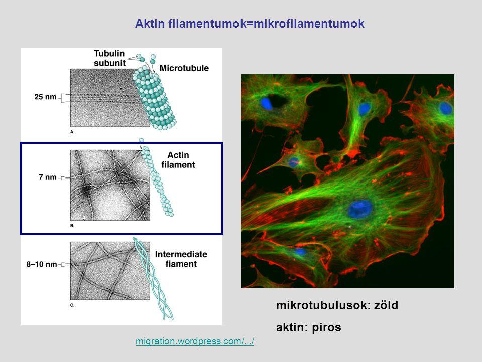 Aktin filamentumok=mikrofilamentumok migration.wordpress.com/.../ mikrotubulusok: zöld aktin: piros