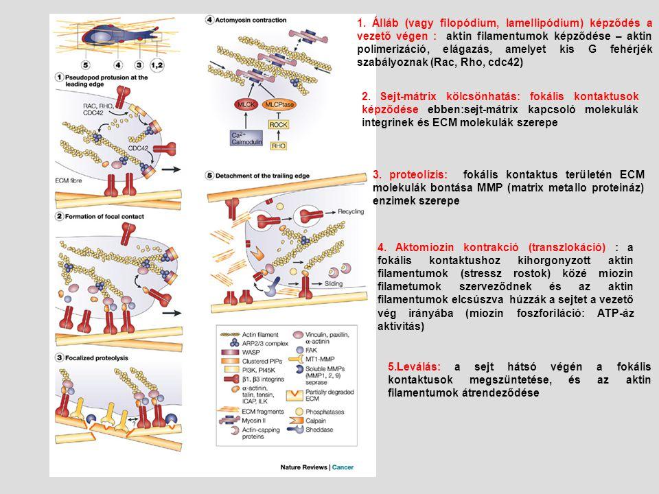 1. Álláb (vagy filopódium, lamellipódium) képződés a vezető végen : aktin filamentumok képződése – aktin polimerizáció, elágazás, amelyet kis G fehérj