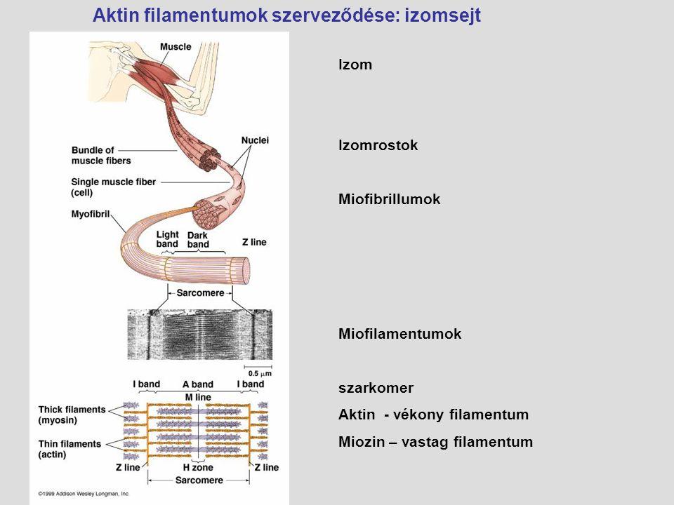 Izom Izomrostok Miofibrillumok Miofilamentumok szarkomer Aktin - vékony filamentum Miozin – vastag filamentum Aktin filamentumok szerveződése: izomsej