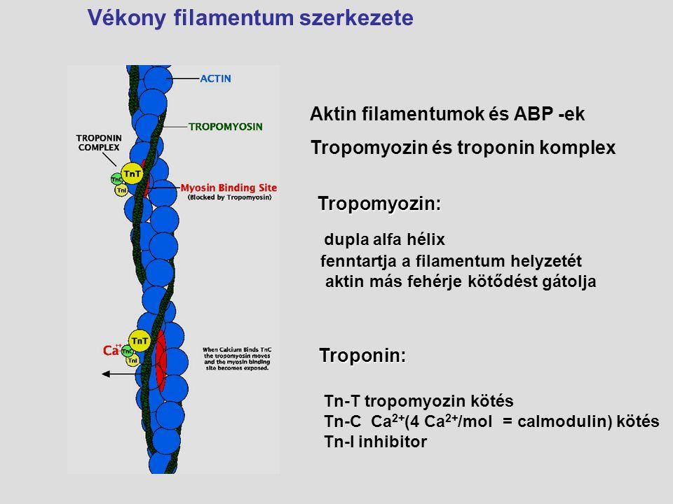 Aktin filamentumok és ABP -ek Tropomyozin és troponin komplex Vékony filamentum szerkezeteTroponin: Tn-T tropomyozin kötés Tn-C Ca 2+ (4 Ca 2+ /mol =
