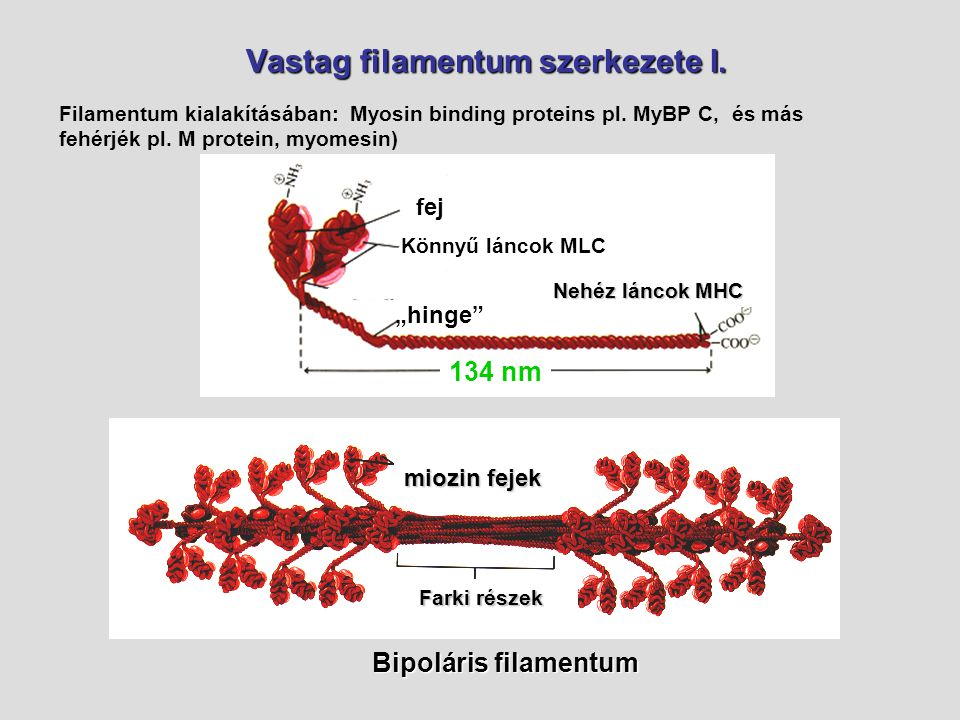 """Vastag filamentum szerkezete I. Könnyű láncok MLC Nehéz láncok MHC """"hinge"""" fej 134 nm miozin fejek Bipoláris filamentum Farki részek Farki részek Fila"""