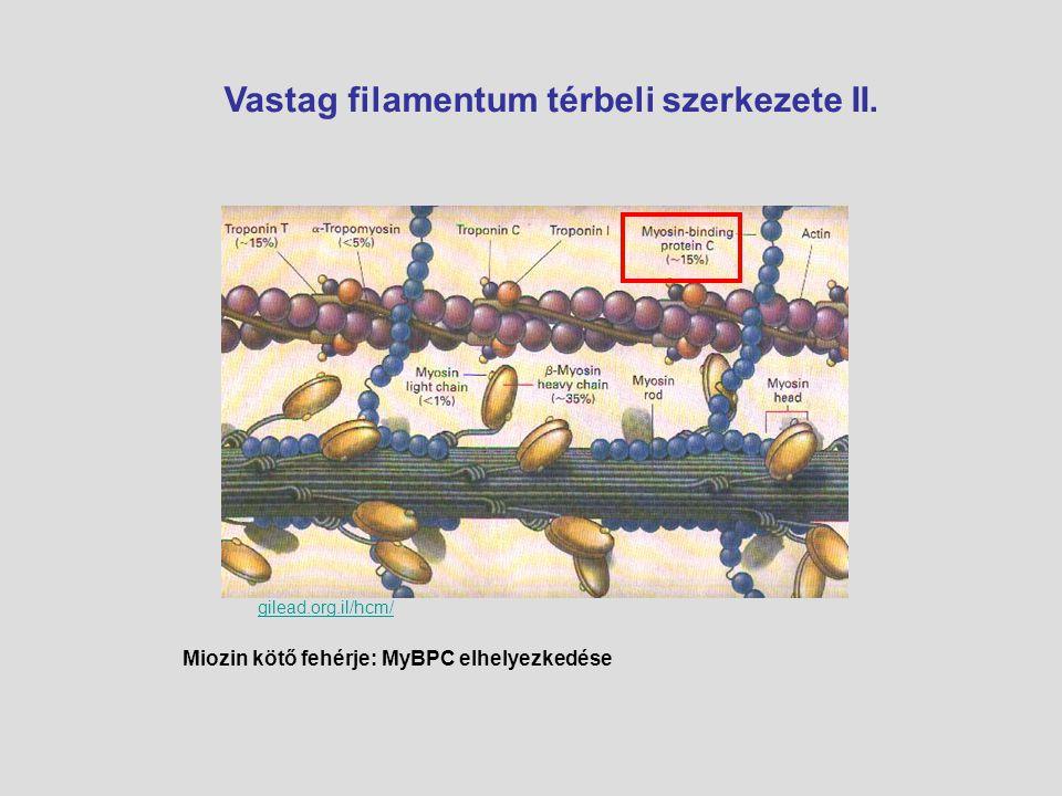 gilead.org.il/hcm/ Vastag filamentum térbeli szerkezete II. Miozin kötő fehérje: MyBPC elhelyezkedése