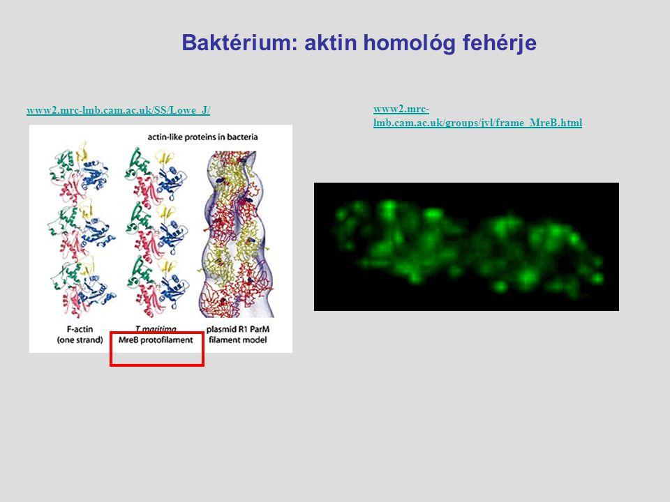 A baktérium sejt membránja alatt feladat: sejt alakja, sejt osztódása Aktin a baktériumsejtben www.stanford.edu/group/sm_cell_imaging/ www.pnas.org/.../102/51/18602/F5.expansion.html