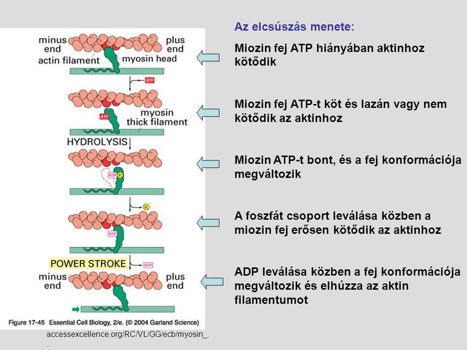 accessexcellence.org/RC/VL/GG/ecb/myosin_... Az elcsúszás menete: Miozin fej ATP hiányában aktinhoz kötődik Miozin fej ATP-t köt és lazán vagy nem köt
