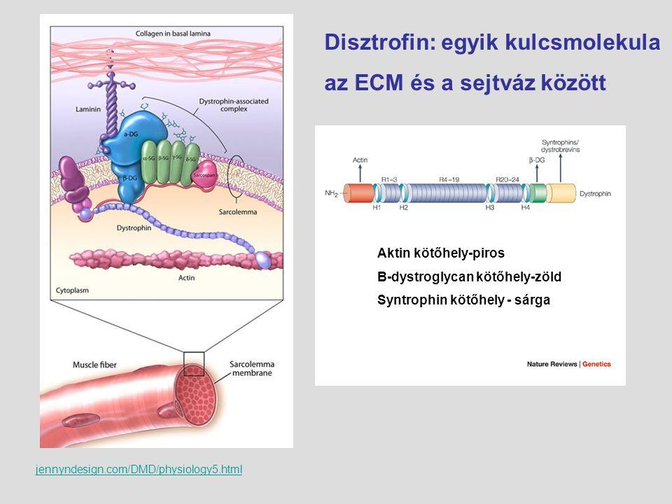 jennyndesign.com/DMD/physiology5.html Disztrofin: egyik kulcsmolekula az ECM és a sejtváz között Aktin kötőhely-piros Β-dystroglycan kötőhely-zöld Syn