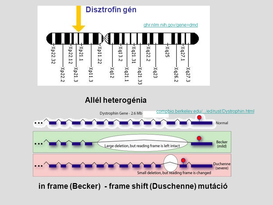 Disztrofin gén ghr.nlm.nih.gov/gene=dmd in frame (Becker) - frame shift (Duschenne) mutáció compbio.berkeley.edu/.../ed/rust/Dystrophin.html Allél het