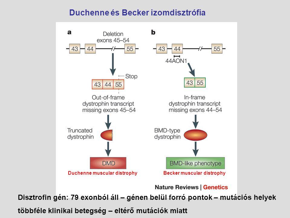Duchenne és Becker izomdisztrófia Disztrofin gén: 79 exonból áll – génen belül forró pontok – mutációs helyek többféle klinikai betegség – eltérő mutá