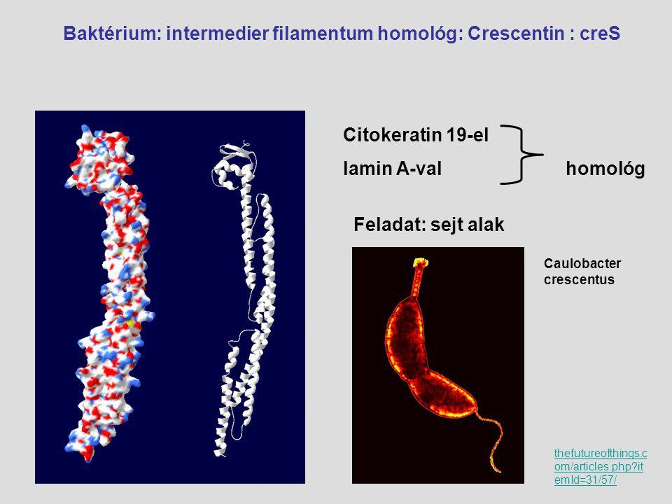 Baktérium: intermedier filamentum homológ: Crescentin : creS Citokeratin 19-el lamin A-val homológ Feladat: sejt alak Caulobacter crescentus thefuture