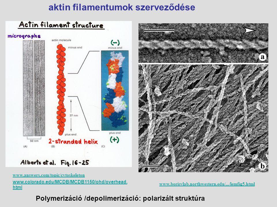 G aktin homodimerek ATP/ADP kötés Aktin típusok: G aktin és F aktin F aktin: 2 csavart szál poláris - és + vég www.cytochemistry.net/Cell-biology/actin_fila...