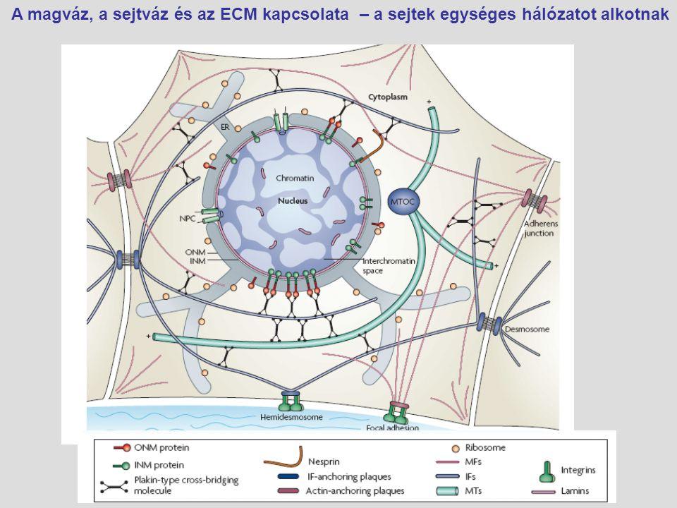 A magváz, a sejtváz és az ECM kapcsolata – a sejtek egységes hálózatot alkotnak