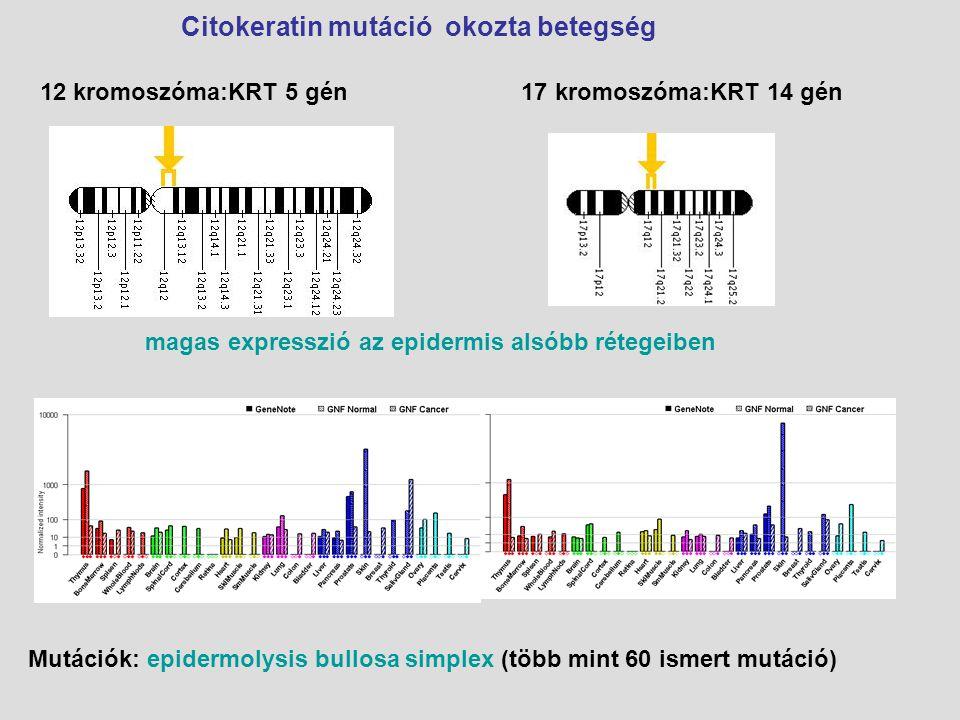 12 kromoszóma:KRT 5 gén 17 kromoszóma:KRT 14 gén magas expresszió az epidermis alsóbb rétegeiben Mutációk: epidermolysis bullosa simplex (több mint 60