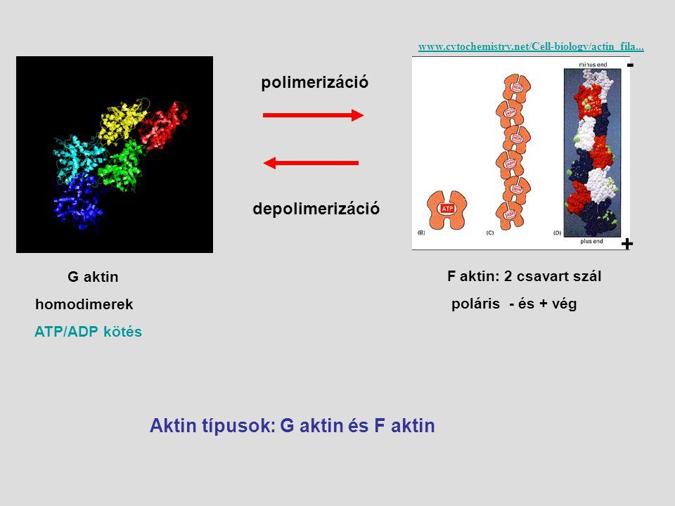 G aktin homodimerek ATP/ADP kötés Aktin típusok: G aktin és F aktin F aktin: 2 csavart szál poláris - és + vég www.cytochemistry.net/Cell-biology/acti