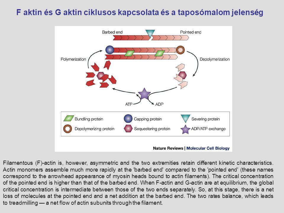 Aktin filamentumok szerveződése III.Mikrobolyhok (villin, fimbrin- kötegelő fehérjék miozin I.
