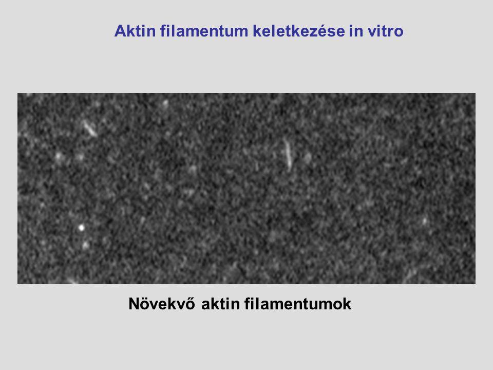 Növekvő aktin filamentumok Aktin filamentum keletkezése in vitro