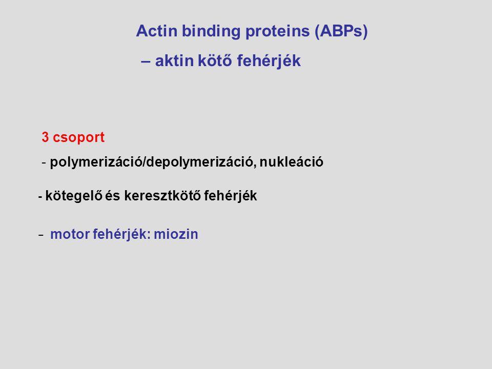 Aktin monomer: ATP és ADP kötött formája ATP kötött: beépül -profilin ADP kötött: leválik-cofilin ADP/ATP csere-CAP Nukleáció (aktin polimerizáció) fehérjéi: ARP komplex: polimerizáció és elágazás Formin: aktin polimerizáció és kontollált növekedés Spire: 4 aktin monomer összekapcsolása-új aktin filamentum indítása Keresztkötő és kötegelő fehérjék Laza és szoros kötegek –  -aktinin, fimbrin Két és háromdimenziós hálózatok – filamin, spektrin Sapkaképző fehérjék + végen sapka, amely gátolja a polimerizációt: capZ Gelsolin: sapka és rövid filamentum képzés Reguláció: Foszforiláció/defoszforiláció RHo, Rac.
