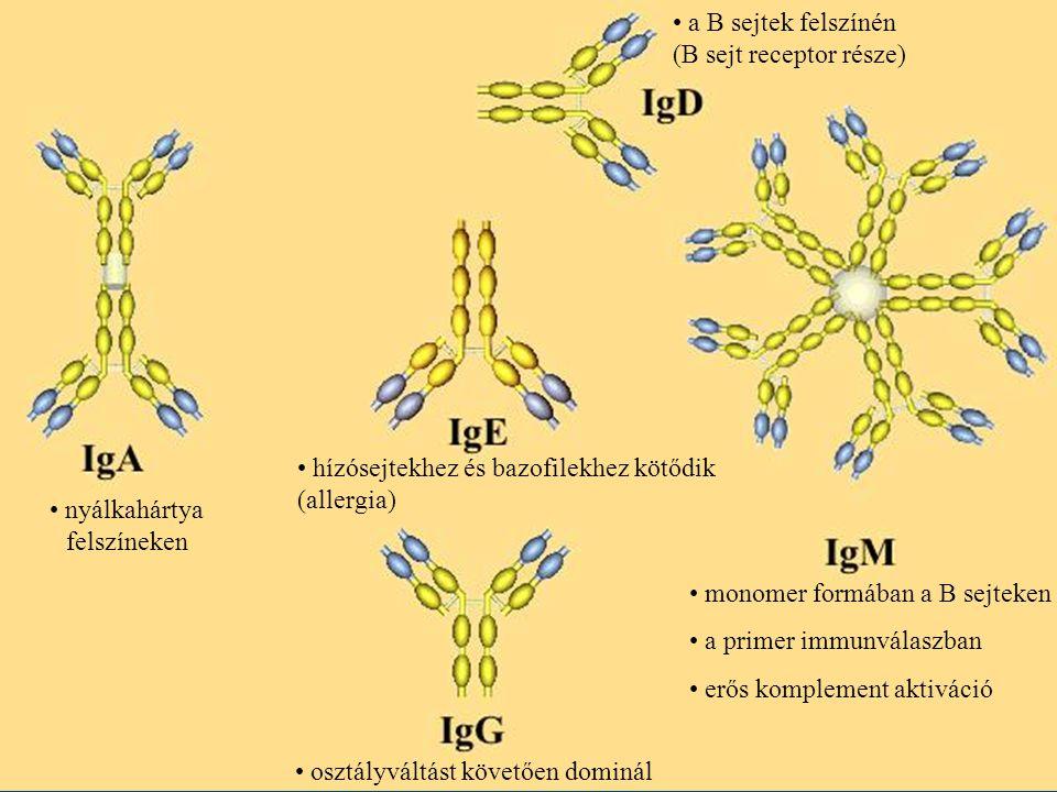 hízósejtekhez és bazofilekhez kötődik (allergia) nyálkahártya felszíneken osztályváltást követően dominál a B sejtek felszínén (B sejt receptor része) monomer formában a B sejteken a primer immunválaszban erős komplement aktiváció