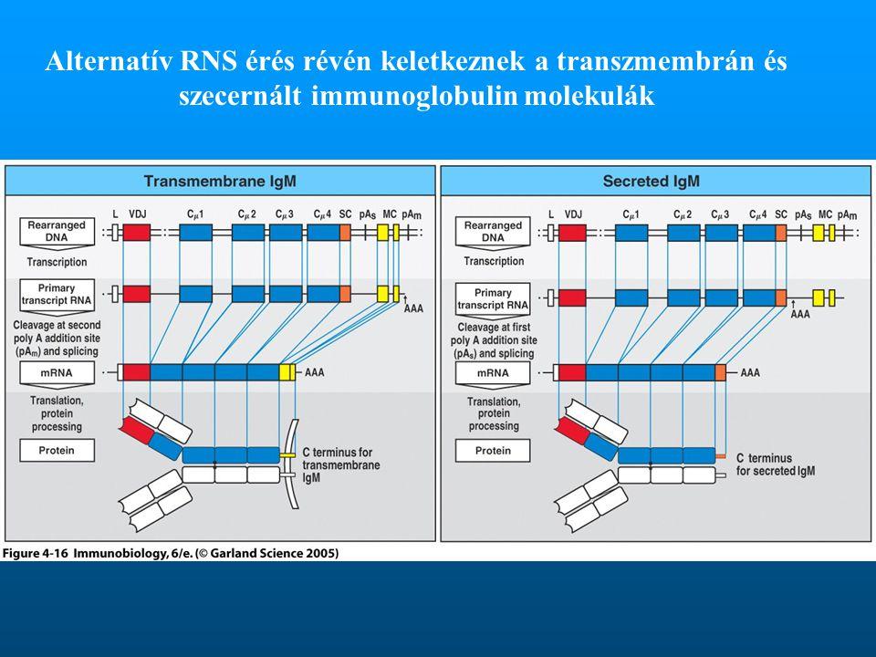 Alternatív RNS érés révén keletkeznek a transzmembrán és szecernált immunoglobulin molekulák
