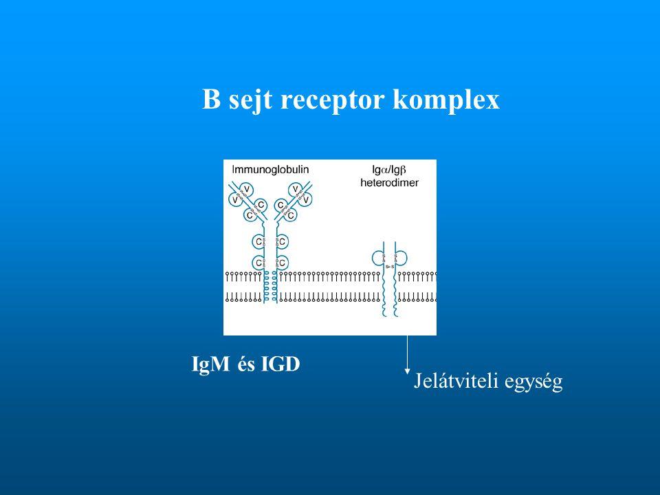 B sejt receptor komplex IgM és IGD Jelátviteli egység