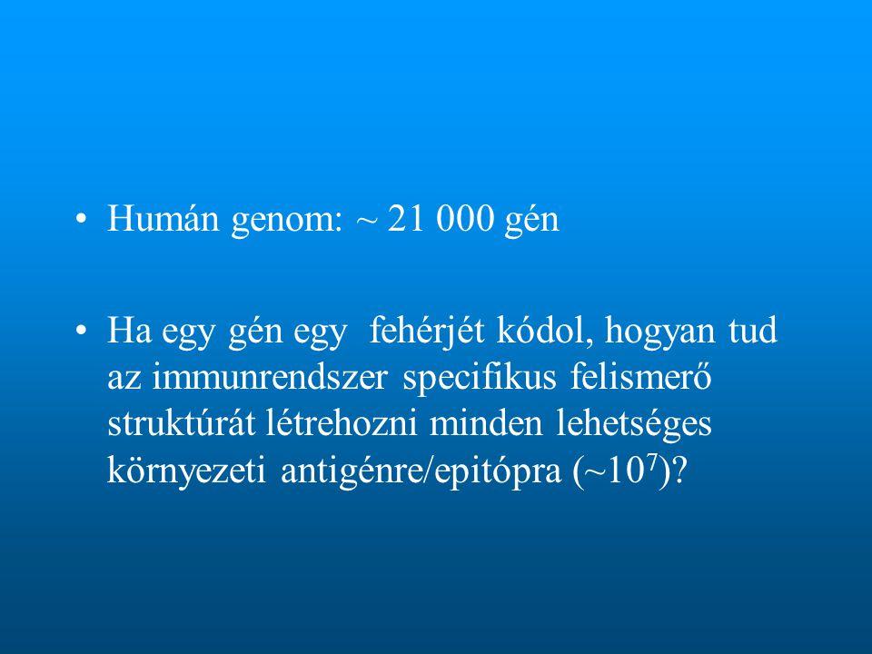 Humán genom: ~ 21 000 gén Ha egy gén egy fehérjét kódol, hogyan tud az immunrendszer specifikus felismerő struktúrát létrehozni minden lehetséges környezeti antigénre/epitópra (~10 7 )?