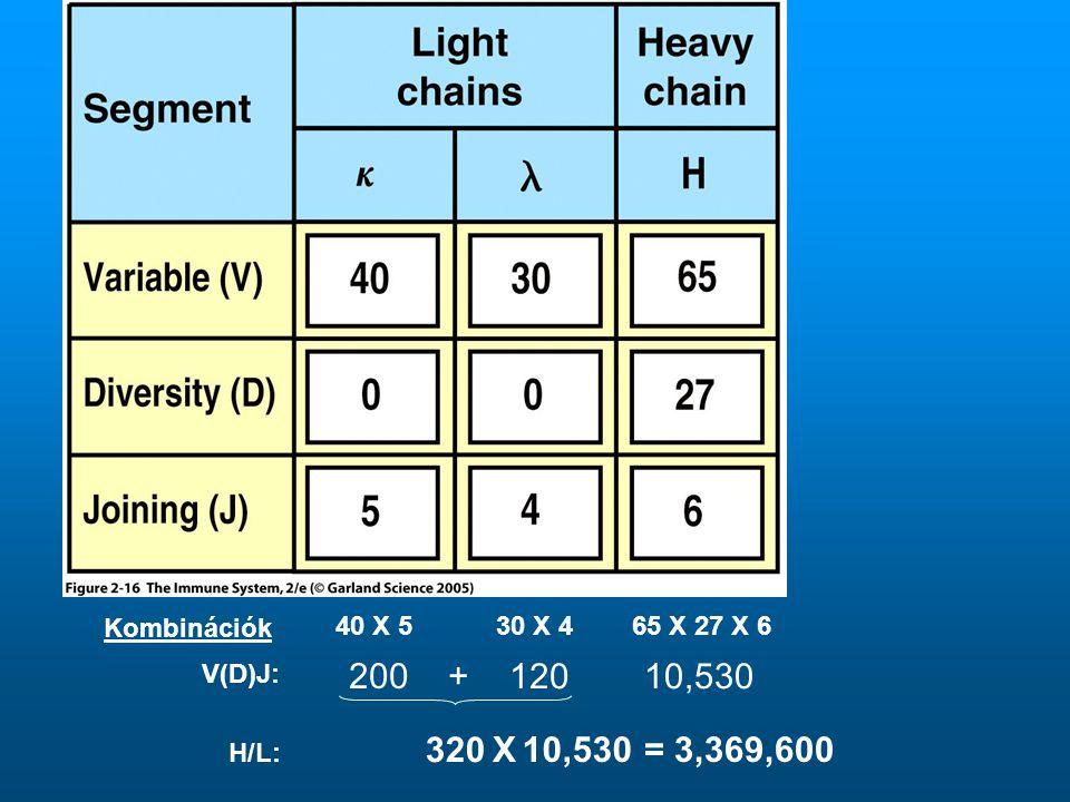 Kombinációk 40 X 530 X 4 65 X 27 X 6 200 + 12010,530 320 10,530X= 3,369,600 V(D)J: H/L: