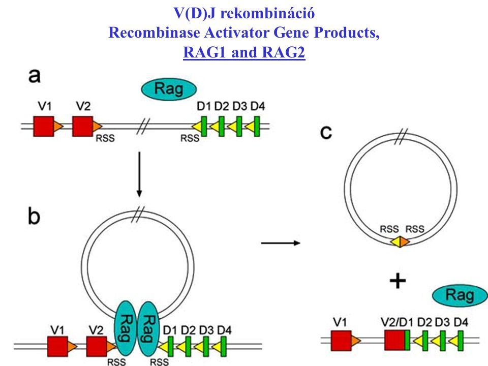 V(D)J rekombináció Recombinase Activator Gene Products, RAG1 and RAG2