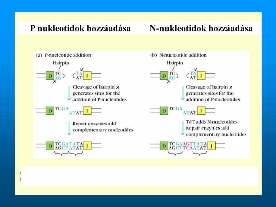 P nukleotidok hozzáadásaN-nukleotidok hozzáadása