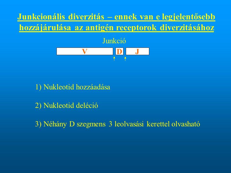 Junkcionális diverzitás – ennek van e legjelentősebb hozzájárulása az antigén receptorok diverzitásához 1) Nukleotid hozzáadása 2) Nukleotid deléció 3) Néhány D szegmens 3 leolvasási kerettel olvasható VDJ Junkció