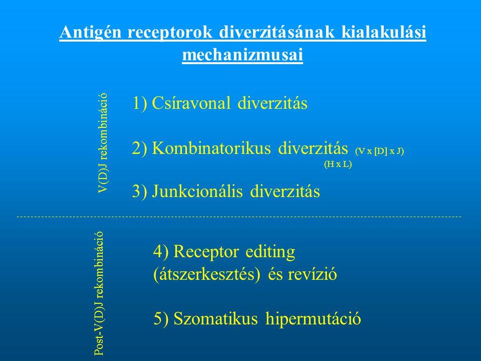 Antigén receptorok diverzitásának kialakulási mechanizmusai 1) Csíravonal diverzitás 2) Kombinatorikus diverzitás (V x [D] x J) (H x L) 3) Junkcionális diverzitás V(D)J rekombináció Post-V(D)J rekombináció 4) Receptor editing (átszerkesztés) és revízió 5) Szomatikus hipermutáció