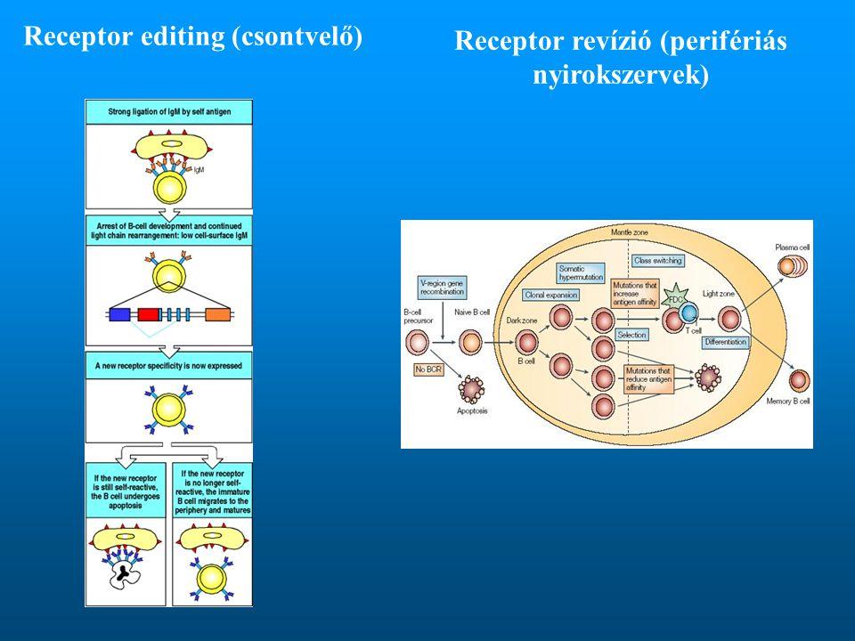 Receptor editing (csontvelő) Receptor revízió (perifériás nyirokszervek)