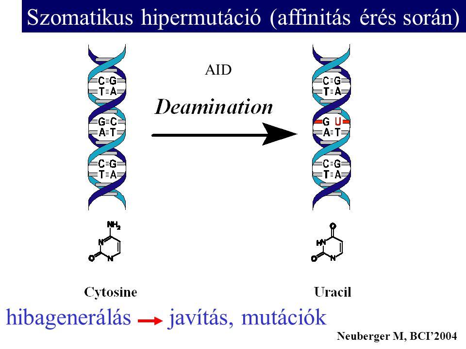 AID Neuberger M, BCI'2004 Szomatikus hipermutáció (affinitás érés során) hibagenerálás javítás, mutációk