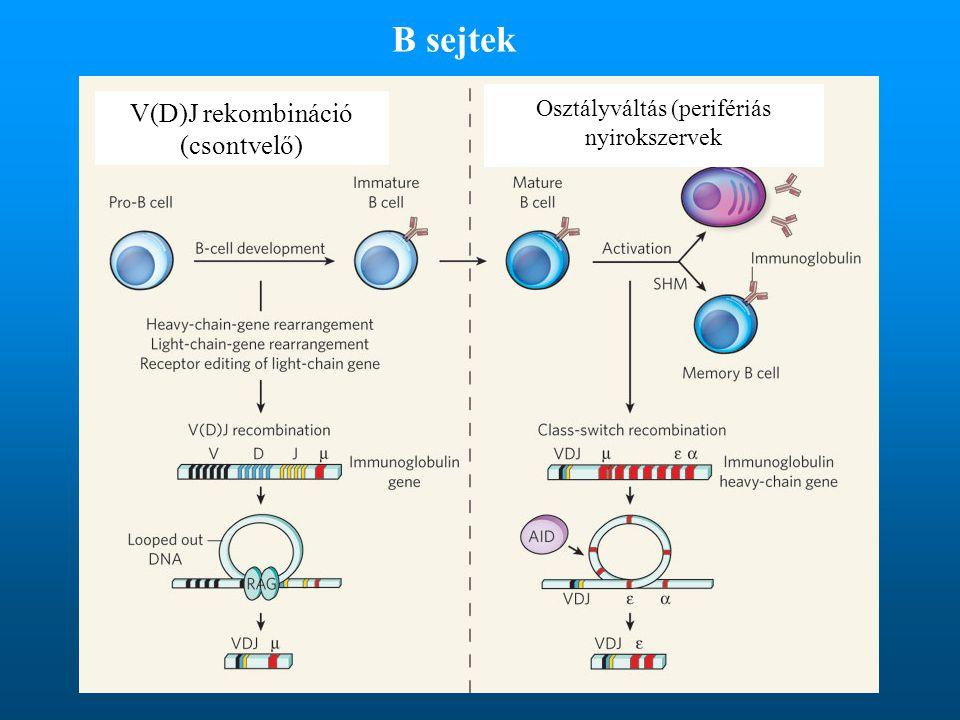Osztályváltás (perifériás nyirokszervek V(D)J rekombináció (csontvelő) B sejtek