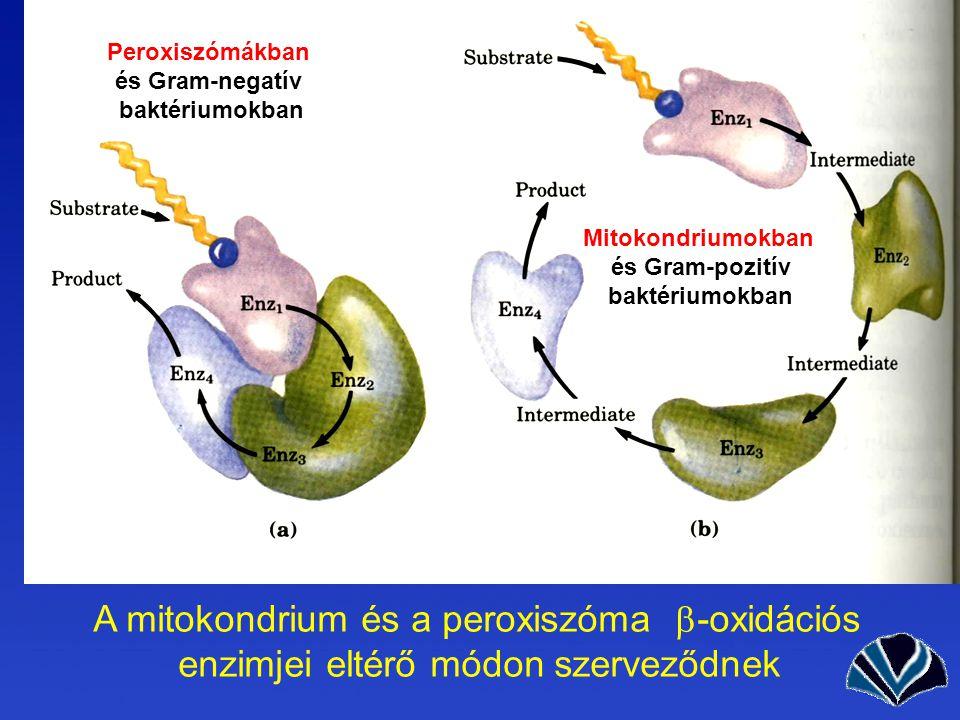 A mitokondrium és a peroxiszóma  -oxidációs enzimjei eltérő módon szerveződnek Mitokondriumokban és Gram-pozitív baktériumokban Peroxiszómákban és Gram-negatív baktériumokban