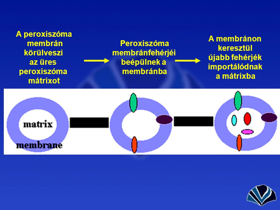 A peroxiszóma membrán körülveszi az üres peroxiszóma mátrixot Peroxiszóma membránfehérjéi beépülnek a membránba A membránon keresztül újabb fehérjék importálódnak a mátrixba