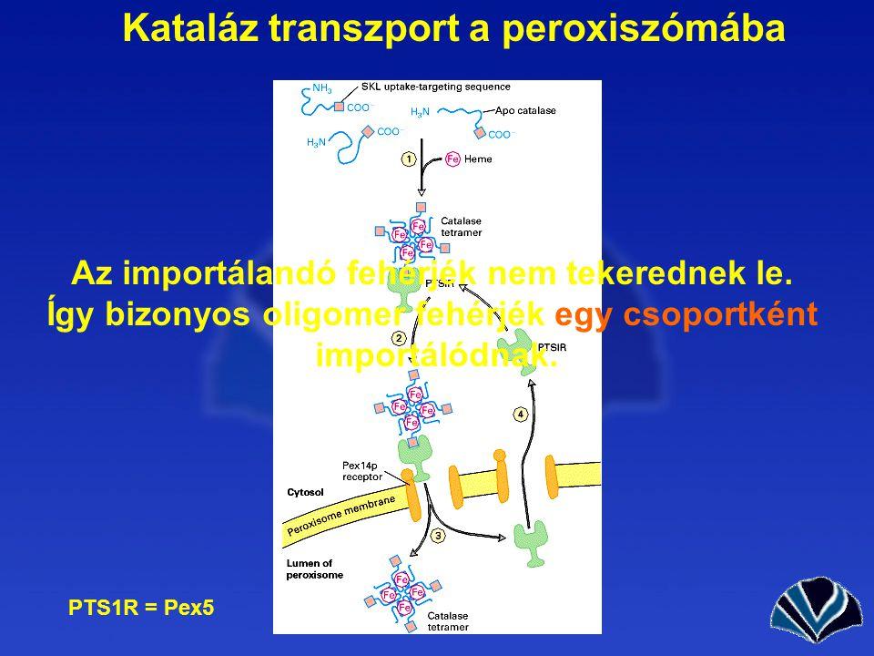 Kataláz transzport a peroxiszómába PTS1R = Pex5 Az importálandó fehérjék nem tekerednek le.