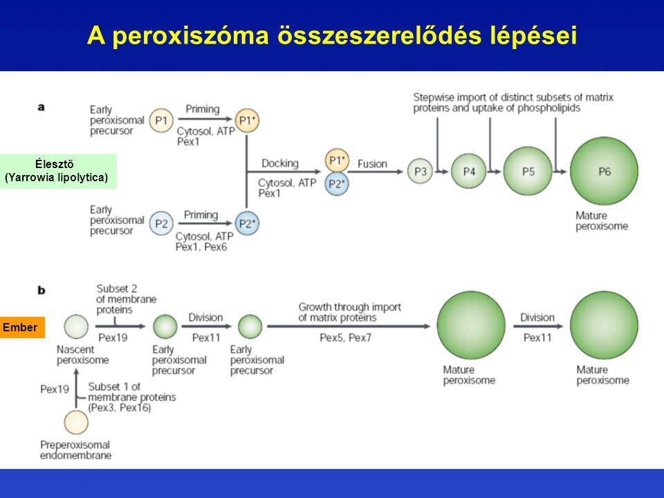 A peroxiszóma összeszerelődés lépései Élesztő (Yarrowia lipolytica) Ember